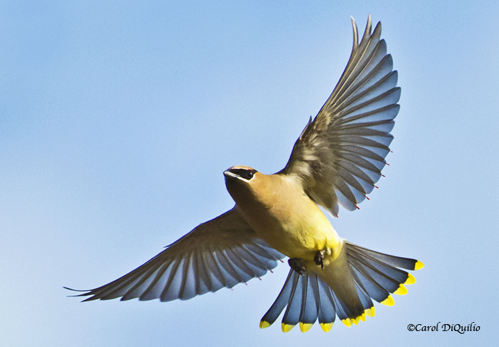 Cedar Waxwing flying C-25