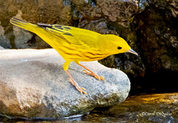 Yellow Warbler Y-4
