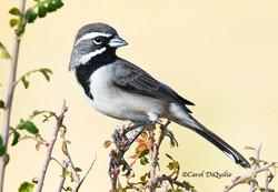 Blk-throated Sparrow B-21