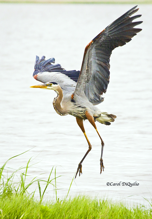Great Blue Heron G-21