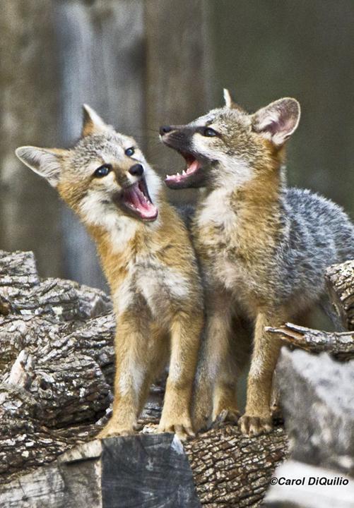 Fox Cubs singing FB-8