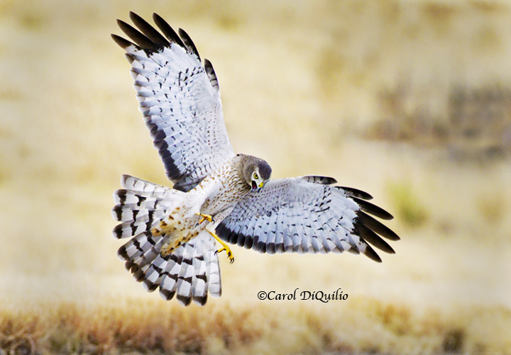 Northern Harrier (male) N-2