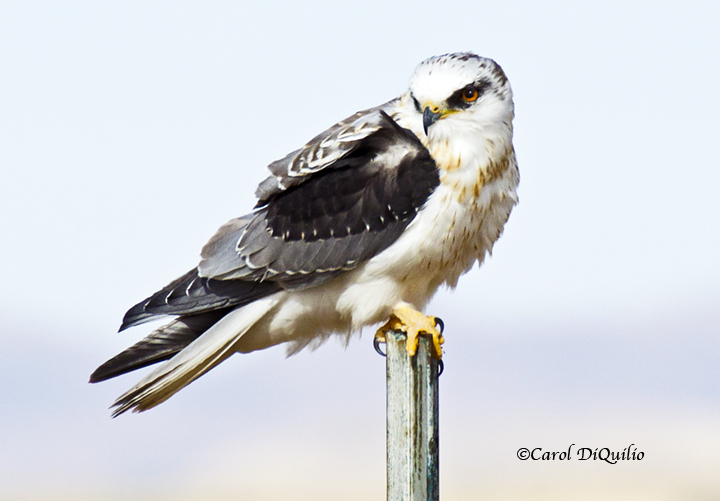 White-tailed Kite W-6