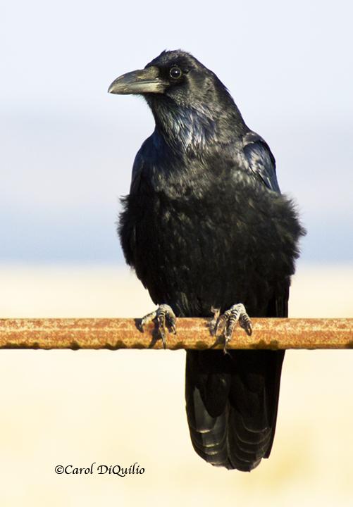 Raven C-8
