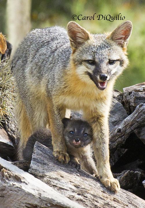 Fox/cub FB-4