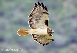 Red-tailed Hawk R-1