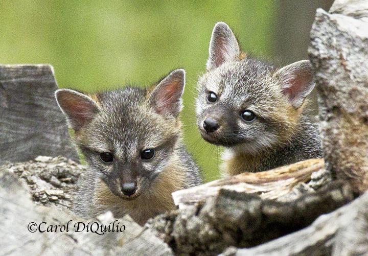 Gray Fox cubs FB-1