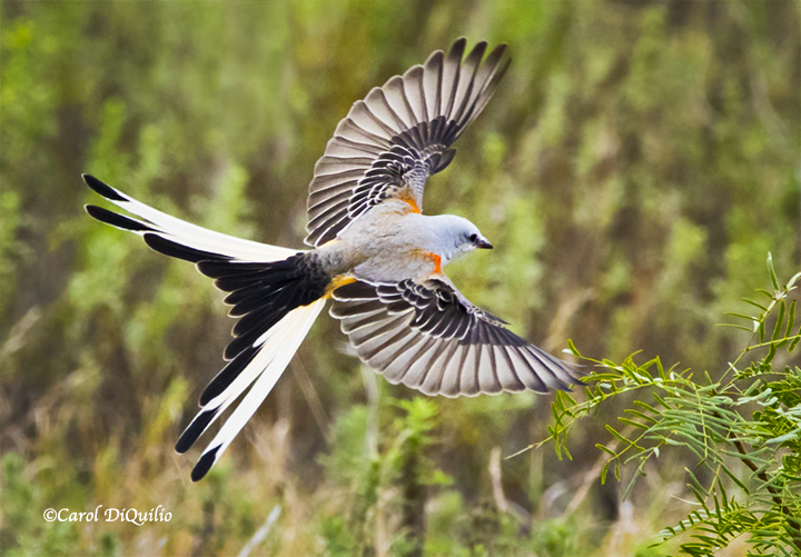 Scissor-tail Flycatcher S-24
