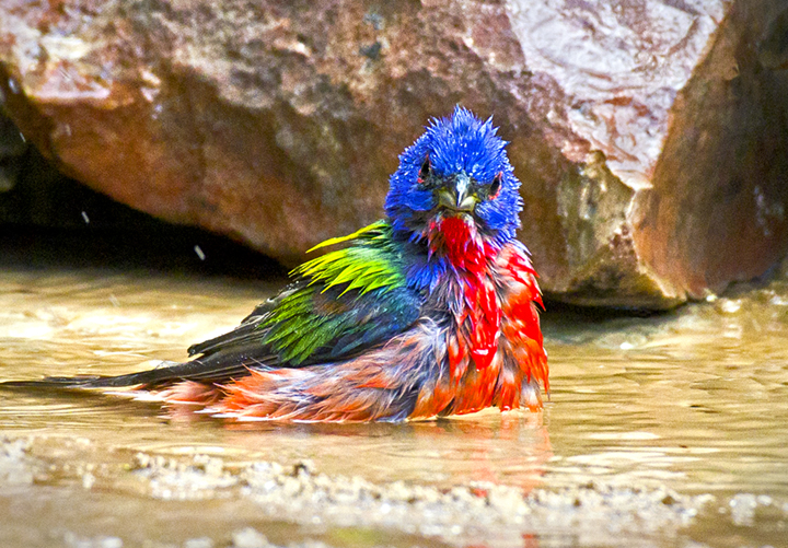 Painted Bunting P-12