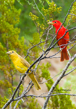 Summer Tanagers T-6