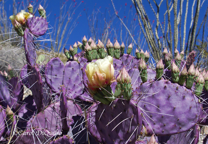 Purple Pricklypear P-11