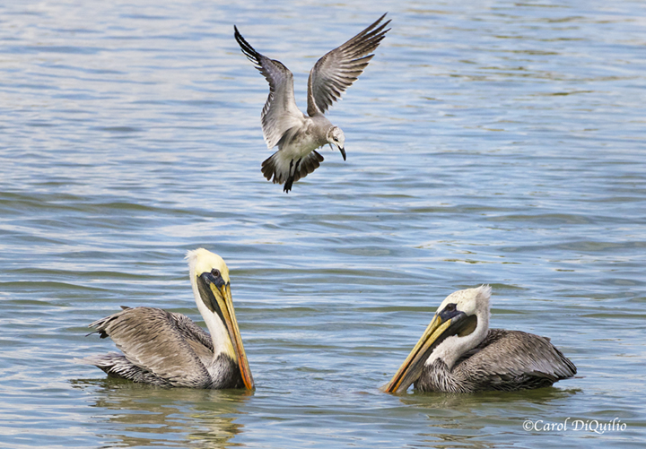 Brown Pelicans P-25
