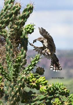 Cactus Wren flying C-7