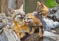 Fox Family FB-13
