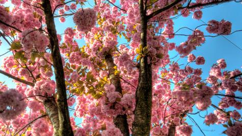 Cherry Blossom at Stauffacher I (HDR)