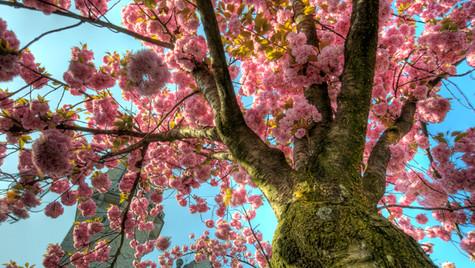 Cherry Blossom at Stauffacher II (HDR)