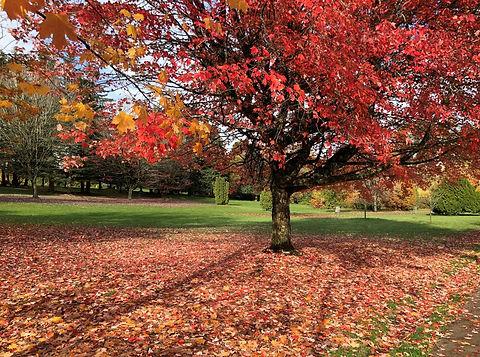Maple-Queen-Elizabeth-Park-Vancouver.JPG