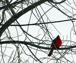 cardinalInTree.JPG