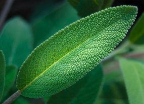 Sage-leaf.jpg