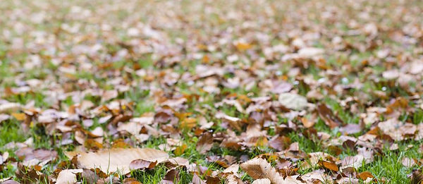 fallen-leaves-green-lawn-2.JPG