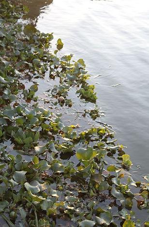 bayou teche - water rlilis.JPG