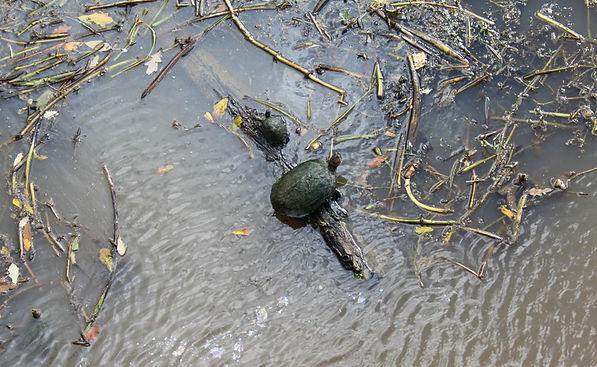 bayou teche - turtles.JPG