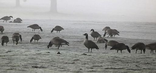geese-feeding-on-lawn.JPG