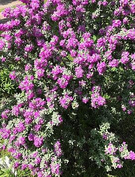 Sage in bloom.JPG