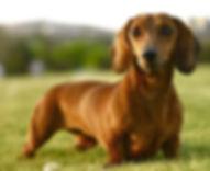 weenie-dog.JPG
