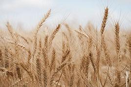 wheat-2.JPG