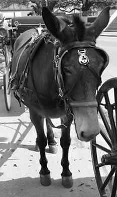 Mule-New-Orleans.JPG