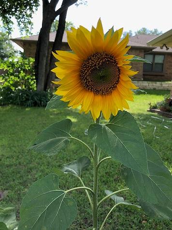 sunflower-pic.jpg
