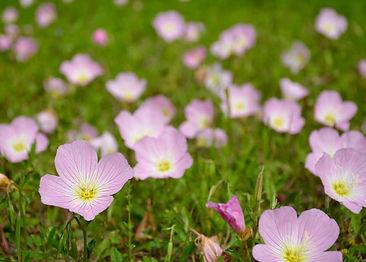 pink-evening-primrose.JPG