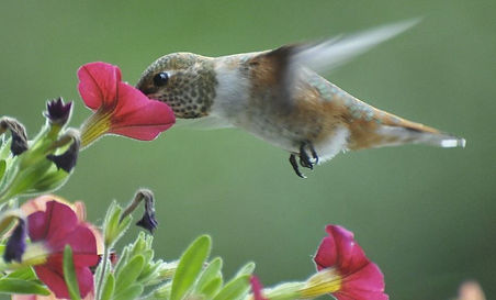 hummingbird-on-flower.JPG