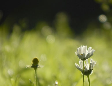 grass-daisies.JPG
