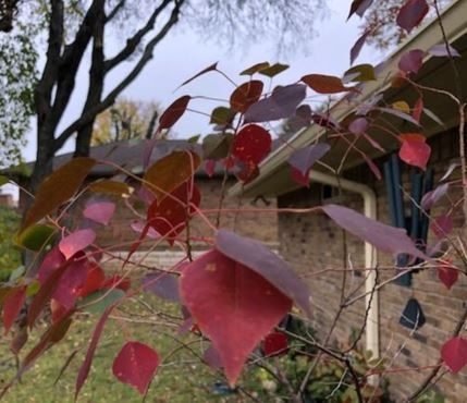 tallow-red-in-fall.JPG