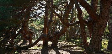 crooiked trees.JPG