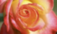 rose-orange-yellow.JPG