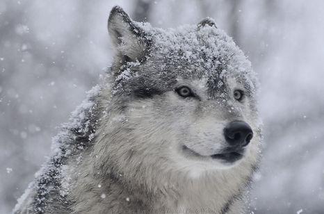 wolf-with-snow.JPG