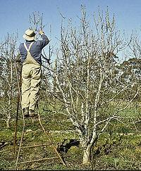 pruning a tree.JPG