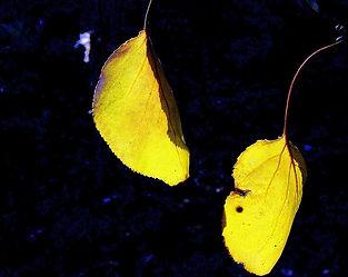 Augumn leaves falling.JPG