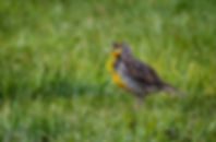 Bird-singing-in-grass.JPG