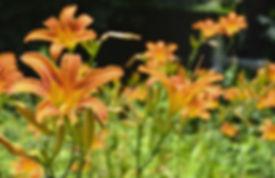 lilies of the field.JPG