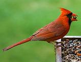 Cardinal-birdfeeder.JPG