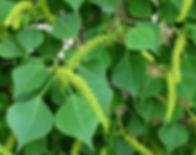 Tallow-tree.JPG