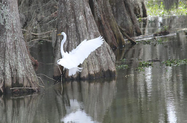 Lake Martin - egret landing.JPG