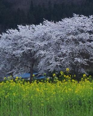 菜の花と桜のコラボです