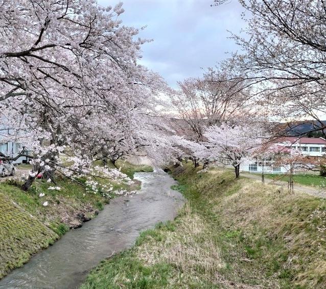 湯沢橋の桜