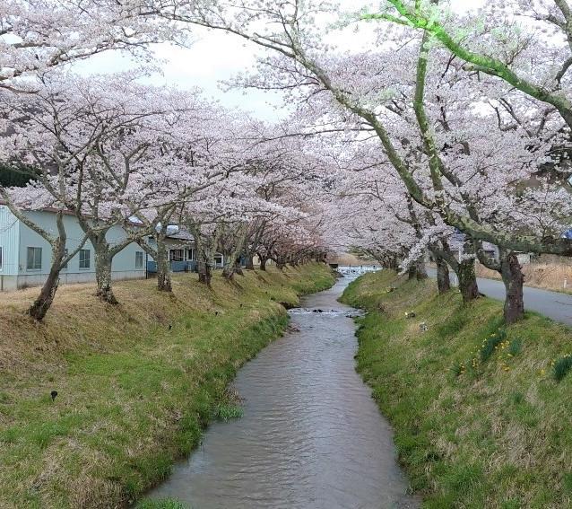 同じく湯沢橋の桜