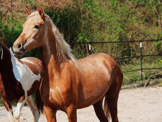 3 Jungpferde, 3 Gangpferderassen: Paso Ibero, Paso Peruano und Speed Racking Horse